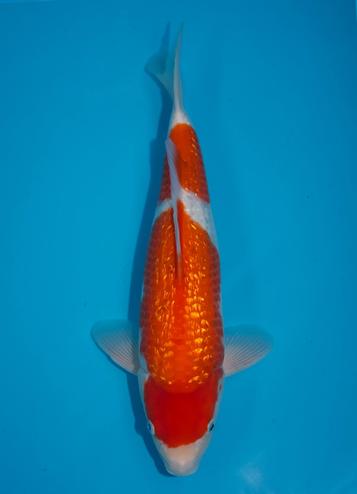 Japanse koi Momotaro Ginrin Kohaku  Nisai 44cm