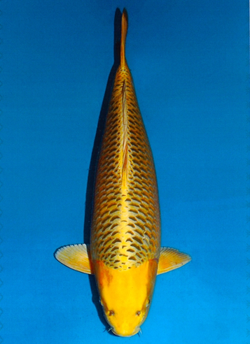 Japanse koi Dainichi  Mukashi Ogon Botan Sansai 70cm