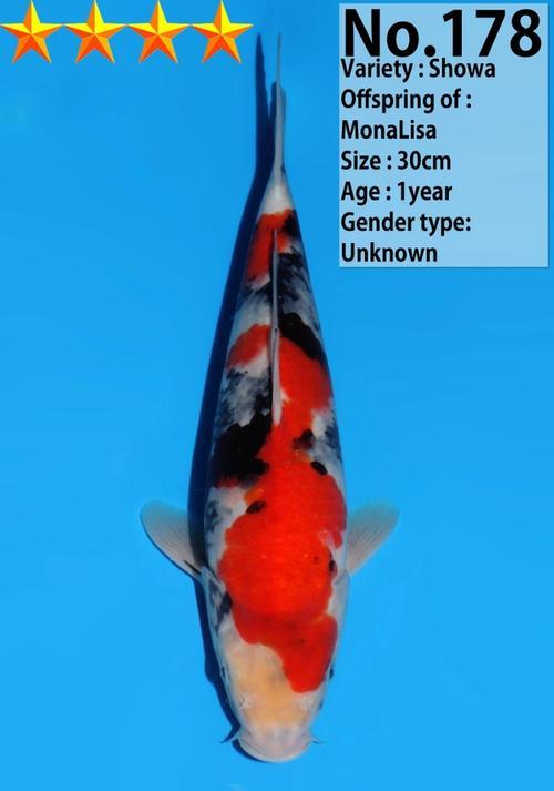 Japanse koi Dainichi  Showa MonaLisa Tosai 30cm