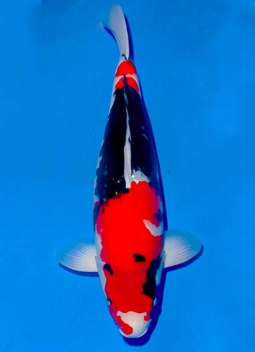 Japanse koi Ogata  Showa Isa Nisai 55cm
