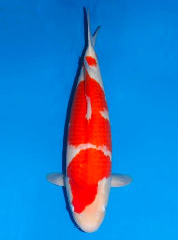 Japanse koi Dainichi  Kohaku DMJr Nisai 52cm
