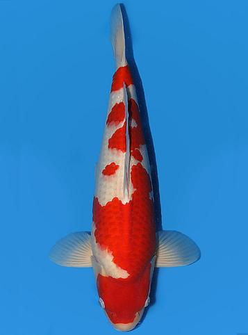 Japanse koi Torazo  Kohaku  Nisai 54cm