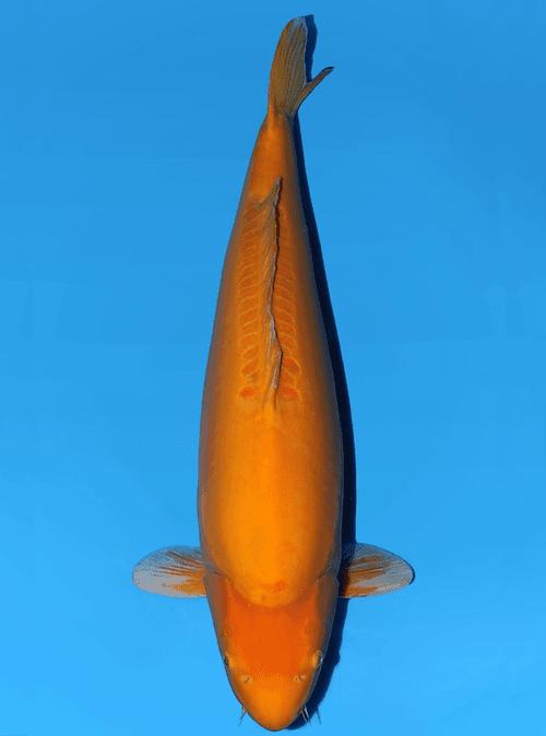 Japanse koi Yagenji Doitsu Karashigoi  Sansai 63cm