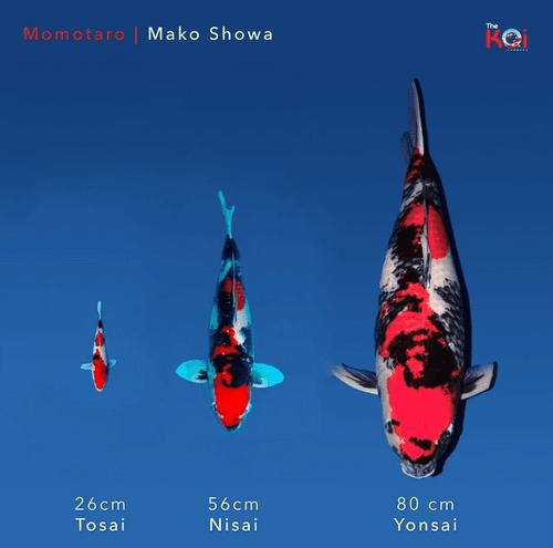 Japanse koi ontwikkeling Momotaro Showa