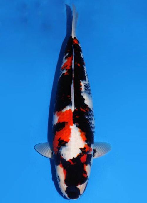 Japanse koi Dainichi  Showa SuperMonster Nisai 63cm