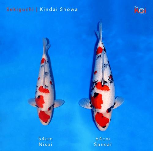 Japanse koi ontwikkeling Sekiguchi Showa