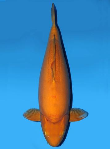 Japanse koi Yagenji Doitsu Karashigoi  Sansai 70cm