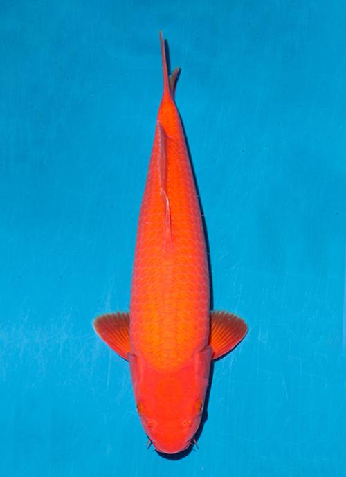 Japanse koi Ogata  Benigoi Taiho Tosai 39cm