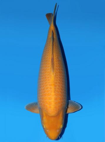 Japanse koi Yagenji  Karashigoi  Sansai 65cm