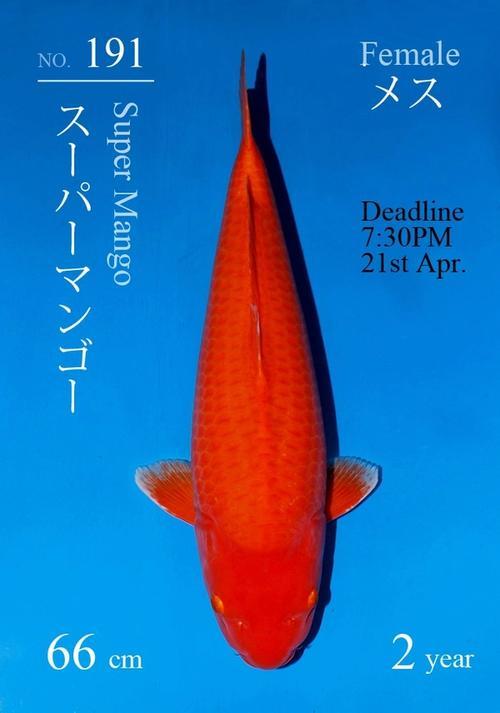 Japanse koi Sakai Fish Farm  Karashigoi Super Mango Nisai 66cm