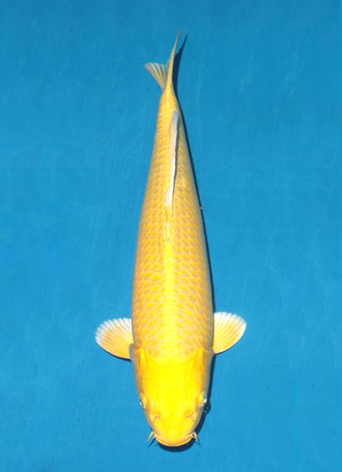 Japanse koi Ogata  Yamabuki Ogon Izumiya Tosai 38cm
