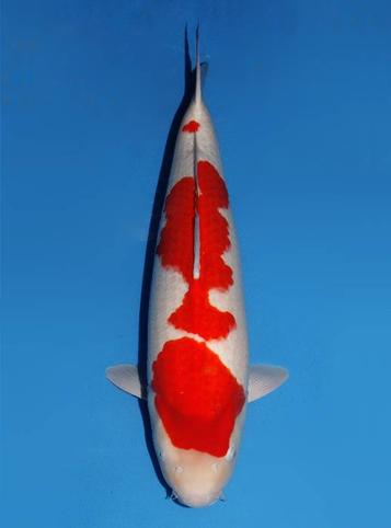 Japanse koi Dainichi  Kohaku SuperKohaku Sansai 66cm