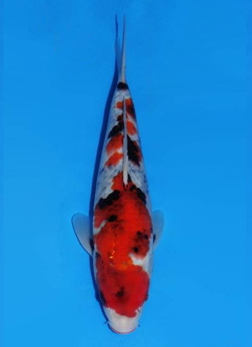 Japanse koi Dainichi  Showa BigBang Tosai 31cm