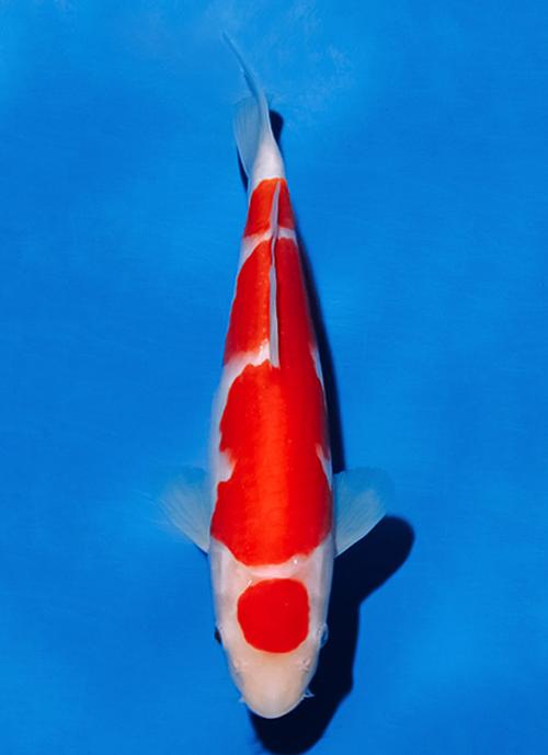 Japanse koi Ogata  Kohaku Sakai Tosai 29cm