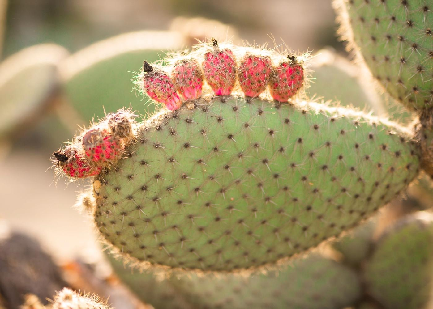 Prickly Pear Oil: Skin Benefits and Much More