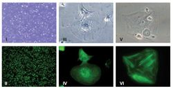Industrialized Production of Human iPSC-Derived Cardiomyocytes for Use in Drug Discovery and Toxicity Testing