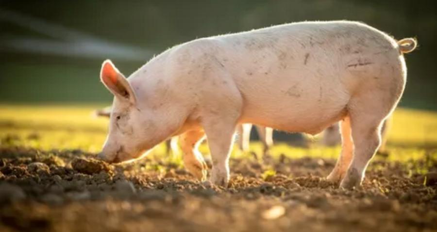 Swine walking on a farm