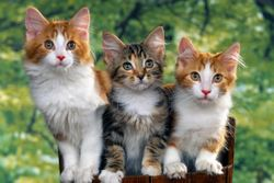 Morris Animal Foundation establishes feline advisory board