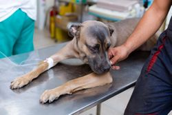 Understanding opioids in veterinary medicine