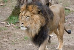 Lions and tigers at Smithsonian National Zoo test presumptive positive for COVID-19