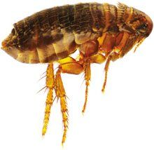 Veterinary Medicine Essentials Fleas