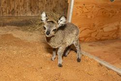 Meet the newest member of the Brevard Zoo family: A pint-sized klipspringer calf
