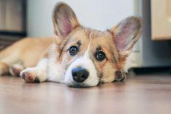 Pet insurer: Records show no sign of human coronavirus in pets