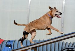 Orthopedic outcomes improve when veterinary surgeons and rehab teams collaborate