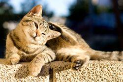 VMX 2020—Tips and tricks for managing feline allergies