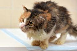 Recognizing and confirming feline hyperthyroidism