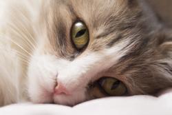 FDA's CVM determines TriviumVet's feline HCM program eligible for expanded conditional approval pathway
