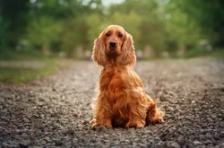 FDA approves new therapy for canine hypothyroidism
