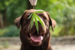 AAFCO urges additional research on animal food hemp products