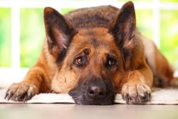 Morris Animal Foundation, Blue Buffalo, and Pet Valu Canada to award canine cancer research grant