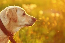 Understanding and diagnosing canine hypothyroidism