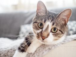 First oral feline flea and tick treatment now available