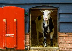 Special delivery: What to do when a pregnant goat shows up at your door