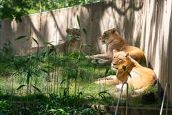 Smithsonian's National Zoo lions and tigers recover after testing presumptive positive for COVID-19