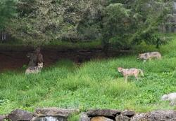 Return of the wolf pack at Lehigh Valley Zoo