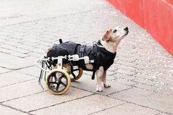 Caring for disabled pets: balancing medicine and compassion