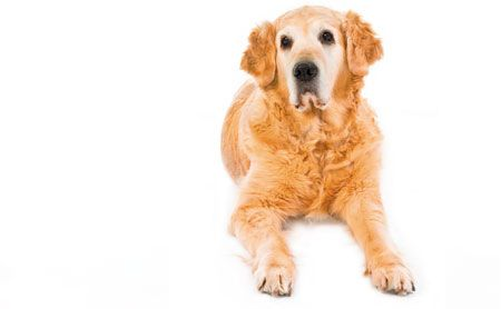 Canine Hypothyroidism Shield Your Patients From Overdiagnosis