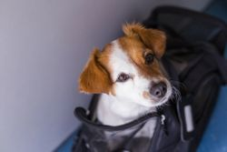 AHS/ASV release updated transport recommendations for heartworm-positive dogs