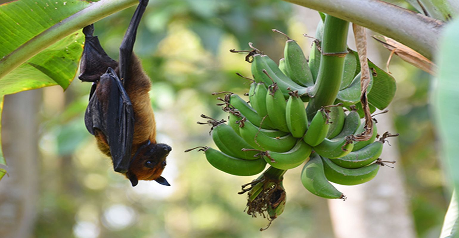 Model Predicts Bat Species With the Potential to Spread Nipah Virus in India