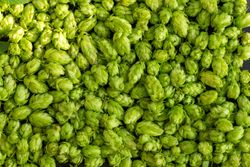 Compounds derived from hops may help reduce the risk of non-alcoholic fatty liver disease