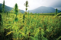 Protect crops and improve soil with hemp