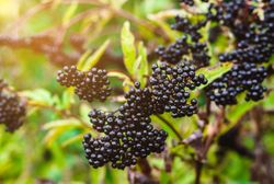 JRF Technology launches oral edible film with elderberry