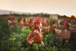 Identifying Doxycycline Hydrochloride and Tylosin in Chicken Using Surface-Enhanced Raman Spectroscopy