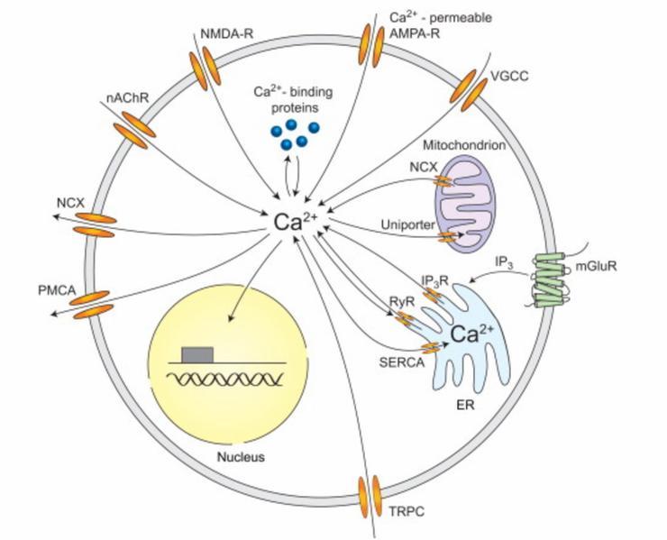 Calcium at the center of cell signaling diagram.
