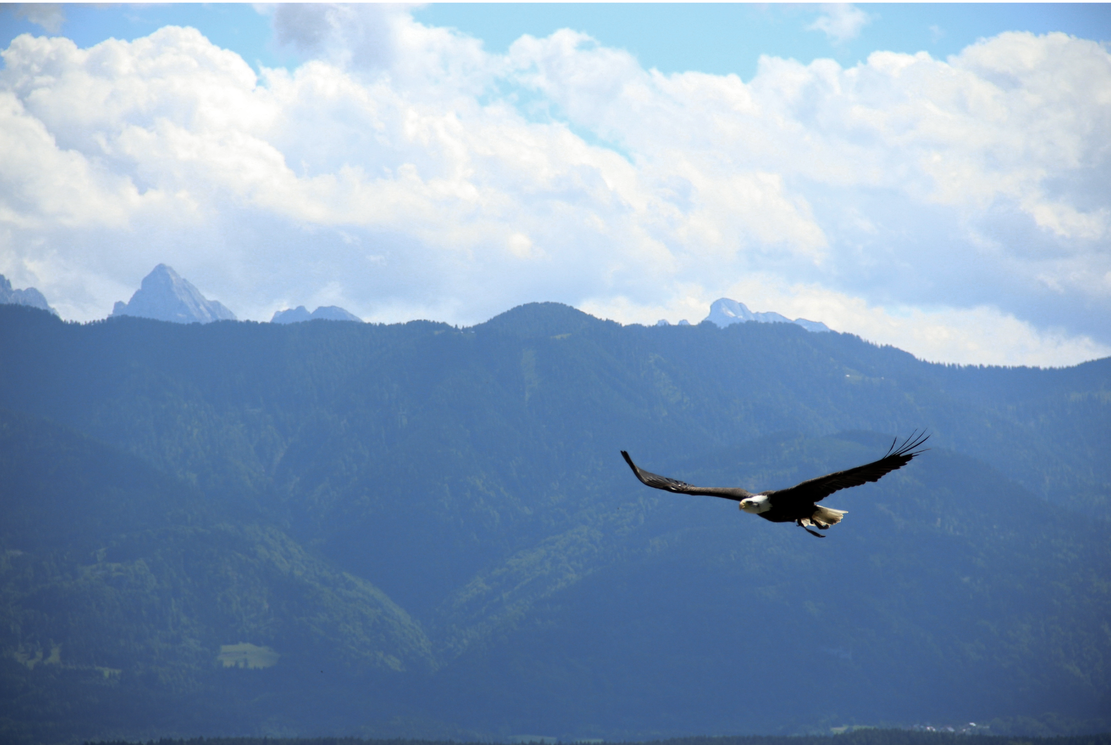 A bald eagle flies with mountains in the far background.