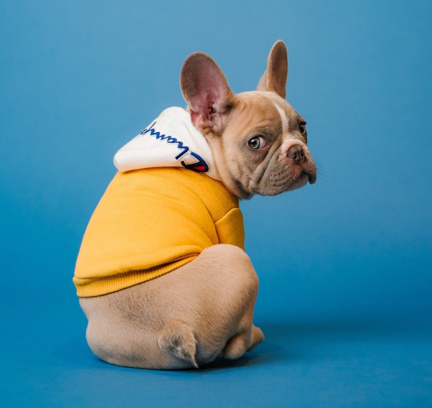 A French Bulldog puppy dressed in a yellow sweater looks over his shoulder.